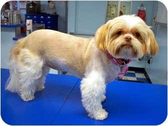 Shih Tzu Dog for adoption in Los Angeles, California - JOSEE