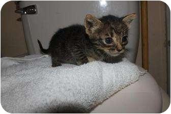 American Shorthair Kitten for adoption in Miami, Florida - Baby Tabby