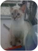 Siamese Kitten for adoption in Tracy, California - Amelia-ADOPTED!