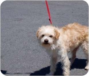 Poodle (Miniature) Mix Dog for adoption in Reno, Nevada - Gorgonzola