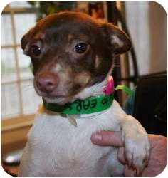 Chihuahua/Rat Terrier Mix Dog for adoption in Salamanca, New York - Roxie-Lil' Cutie Pie!