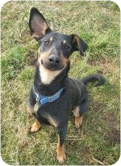 Doberman Pinscher Mix Dog for adoption in New Richmond, Ohio - Rex--adopted!!