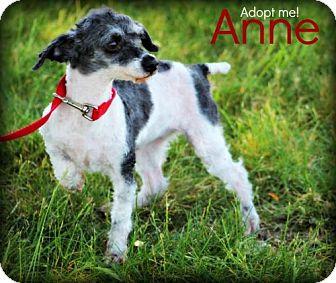 Poodle (Miniature) Mix Dog for adoption in mishawaka, Indiana - Anne - PAWMART