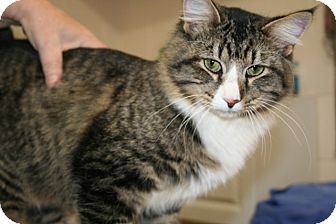 Maine Coon Cat for adoption in Plainfield, Connecticut - Kris Kringle