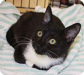 Domestic Shorthair Kitten for adoption in Vero Beach, Florida - Sonic