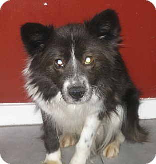 Border Collie/Sheltie, Shetland Sheepdog Mix Puppy for adoption in Chicago, Illinois - Casey*ADOPTED!*
