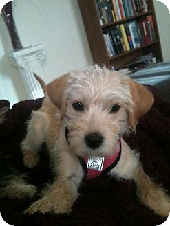 Fox Terrier (Toy)/Maltese Mix Puppy for adoption in Los Angeles, California - Stella