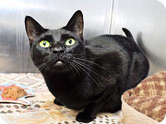 Domestic Shorthair Cat for adoption in Bradenton, Florida - Skeeter