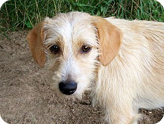 Wirehaired Fox Terrier/Schnauzer (Miniature) Mix Puppy for adoption in Salem, New Hampshire - BETTY