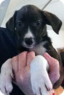 Labrador Retriever/Great Dane Mix Puppy for adoption in Nuevo, California - Bay