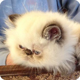 Himalayan Kitten for adoption in Broadway, New Jersey - Templeton