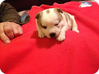 Jack Russell Terrier/Collie Mix Puppy for adoption in Kittery, Maine - Gabby