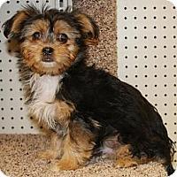 Adopt A Pet :: Downton - Gilbert, AZ
