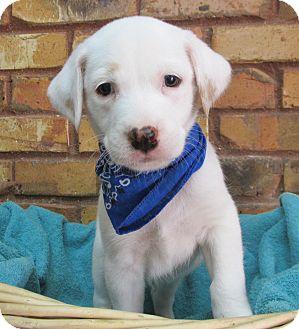 Labrador Retriever Mix Puppy for adoption in Benbrook, Texas - Zale