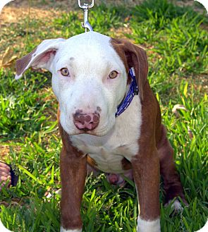 Bull Terrier Mix Puppy for adoption in Yuba City, California - Fasco