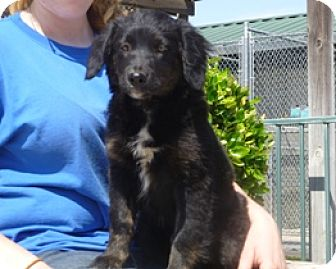 Australian Shepherd/Retriever (Unknown Type) Mix Puppy for adoption in Lathrop, California - River