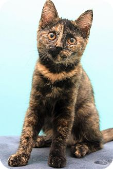 Domestic Shorthair Cat for adoption in Sterling Heights, Michigan - Lilac-ADOPTED