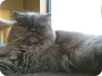 Persian Cat for adoption in Beverly Hills, California - Sassy Le Belle