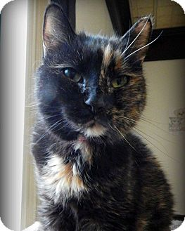 Domestic Shorthair Cat for adoption in Austintown, Ohio - Tali