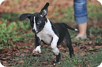 Border Collie/Labrador Retriever Mix Puppy for adoption in Wellesley, Massachusetts - Delilah