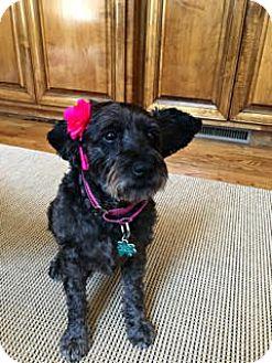 Schnauzer (Standard) Mix Dog for adoption in Alpharetta, Georgia - Cam