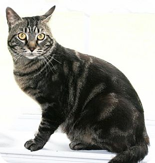 Bengal Cat for adoption in Buford, Georgia - Gabe