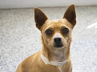 Chihuahua Mix Dog for adoption in Long Beach, California - Remy