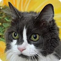 Adopt A Pet :: Shadow - Englewood, FL