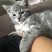 Domestic Shorthair Kitten for adoption in Sacramento, California - pip