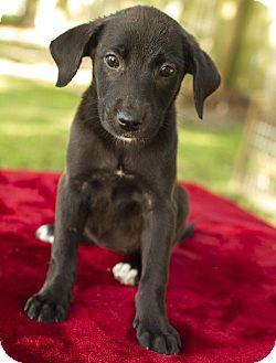 Labrador Retriever Mix Puppy for adoption in Santa Fe, Texas - Pamela