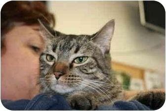 Domestic Shorthair Cat for adoption in Saint Charles, Missouri - Jade