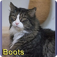 Maine Coon Cat for adoption in Aldie, Virginia - Boots