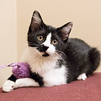 Adopt A Pet :: Kit Kat - Chicago, IL