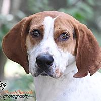 Adopt A Pet :: Daisy - Broadway, NJ