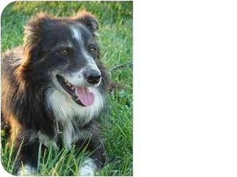 Border Collie Dog for adoption in Honaker, Virginia - Shamus