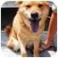 Photo 4 - Shiba Inu/Chow Chow Mix Dog for adoption in New York, New York - Aphrodite