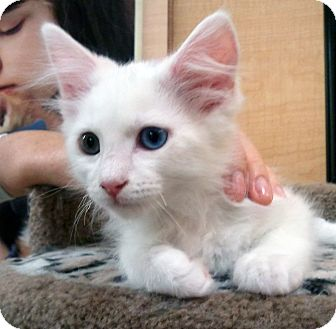 Domestic Mediumhair Kitten for adoption in Irvine, California - Cotton & Ivory