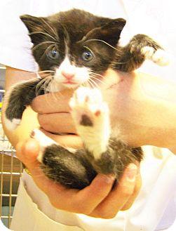 Domestic Shorthair Kitten for adoption in Toledo, Ohio - Spencer