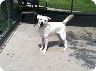 Labrador Retriever Mix Dog for adoption in Columbus, Georgia - Snowee 5829