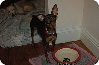 Miniature Pinscher Dog for adoption in Malaga, New Jersey - Sparkles