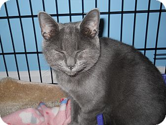 Russian Blue Kitten for adoption in Stafford, Virginia - Zazzles