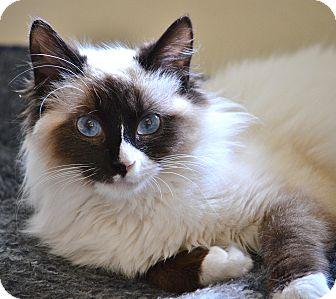 Ragdoll Kitten for adoption in Davis, California - Meghan