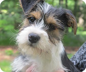 Terrier (Unknown Type, Small)/Schnauzer (Miniature) Mix Puppy for adoption in Beacon, New York - Tulip