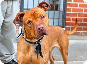Rhodesian Ridgeback Mix Dog for adoption in Los Angeles, California - Red