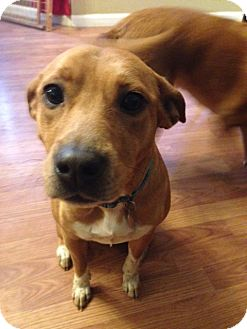 Beagle/Australian Cattle Dog Mix Dog for adoption in Nanuet, New York - Hallie