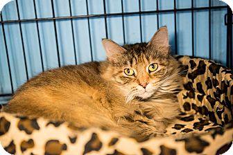 Domestic Mediumhair Cat for adoption in Brooklyn, New York - Berry
