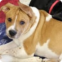 Adopt A Pet :: Sarge - justin, TX