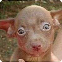 Adopt A Pet :: Shorty - Plainfield, CT