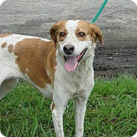 Treeing Walker Coonhound Dog for adoption in Kinston, North Carolina - Kennedy