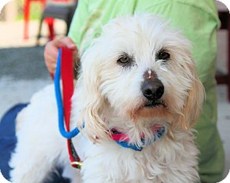 Westie, West Highland White Terrier Mix Dog for adoption in Manahawkin, New Jersey - Scrappy